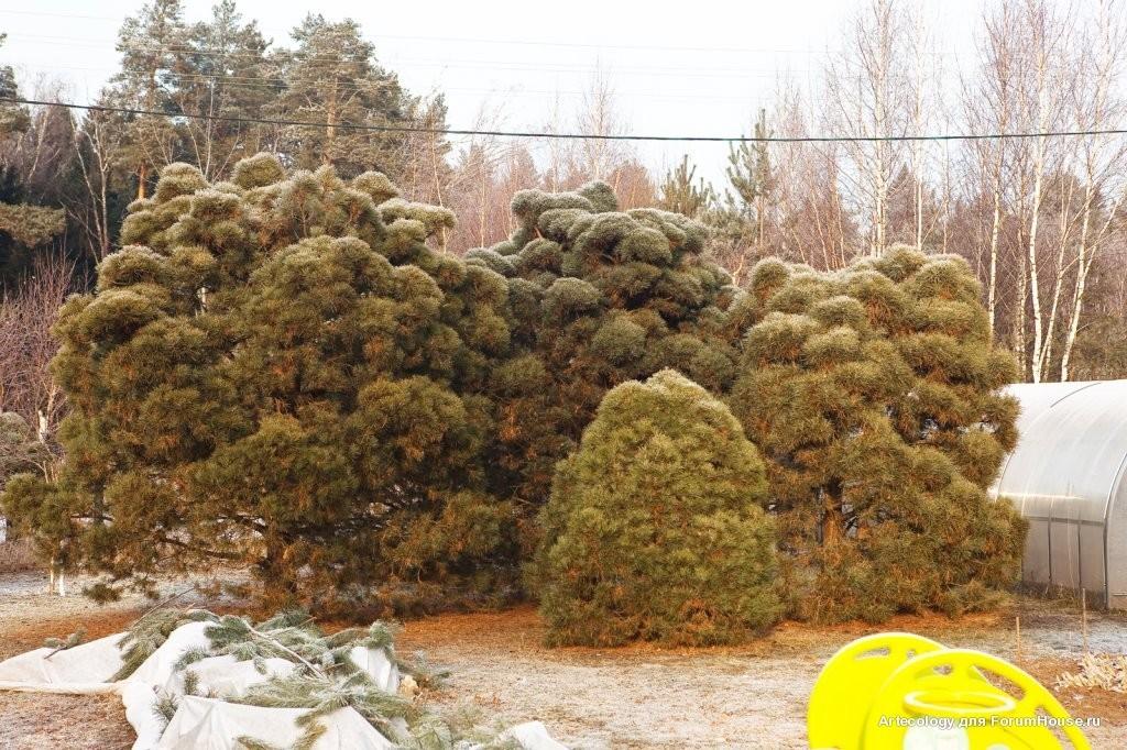 Садовый бонсай из сосны обыкновенной своими руками 697